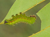 Saturnid Moth Fourth Instar Caterpillar Eating a Leaf (Copaxa Decreasens). Ecuador Photographic Print by Leroy Simon
