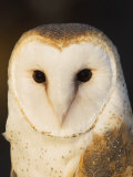 Male Barn Owl (Tyto Alba), USA Photographic Print by John Cornell