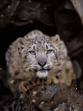 Snow Leopard, Panthera Uncia, an Endangered Species, Asia Photographic Print by Joe McDonald