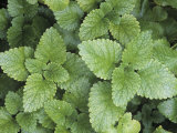 Lemon Balm Herb Leaves (Melissa Officinalis) Photographic Print by David Sieren
