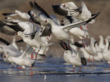 Snow Geese Flock Taking Off, Chen Caerulescens, Bosque Del Apache, New Mexico, USA Photographic Print by Arthur Morris