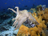 A Broadclub Cuttlefish (Sepia Latimanus), Komodo, Indonesia Photographic Print by David Fleetham