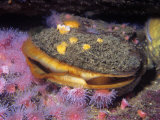 Rock Scallop (Hinnites Giganteus), Pacific Coast of North America Photographic Print by Ken Lucas