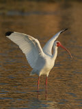 White Ibis, Eudocimus Albus, with Wings Raised, Southern USA Photographic Print by Arthur Morris