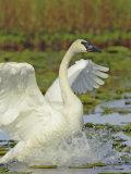 Trumpeter Swan Flapping its Wings, Cygnus Buccinator, Alaska, USA Photographic Print by Arthur Morris
