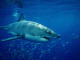 Great White Shark (Carcharodon Carcharias), Mexico, Pacific Ocean Photographic Print by Reinhard Dirscherl