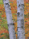 White Birch Forest in Autumn, Betula Papyrifera, Eastern USA Fotografiskt tryck av John & Barbara Gerlach