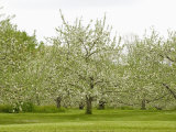 Flowering Apple Orchard in the Spring (Malus), New Hampshire, USA Photographic Print