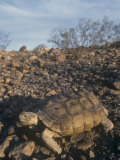 Desert Tortoise (Gopherus Agassizii) a Threatened Species, Mojave Desert, California, USA Photographic Print by Tom Ulrich