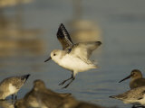 Sanderling, Calidris Alba, Landing in a Mixed Flock of Various Shorebirds, Florida USA Photographic Print by John Cornell