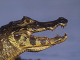 Caiman Head, Amazonia, Brazil, South America Photographic Print by Arthur Morris