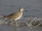 Willet Walking Along a Beach, Catoptrophorus Semipalmatus, De Soto Park, Tampa, Florida, USA Photographic Print by Fritz Polking