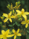 St. John's Wort, Hypericum Perforatum, North America Photographic Print by David Sieren