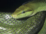 Redtail Rat or Racer Snake (Gonyosoma Oxycephalus), Southeast Asia Photographic Print by Ken Lucas