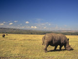 White Rhinoceros Grazing on the Savanna, Ceratotherium Simum, an Endangered Species, Kenya, Africa Photographic Print by Joe McDonald