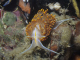 Nudibranch or Sea Slug (Hermissendra Crassicornis), California, Usa, Pacific Ocean Fotografie-Druck von Ken Lucas
