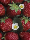 Strawberries, 'sparkle' Variety Impresso fotogrfica por Wally Eberhart