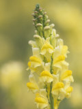 Dewy Butter-And-Eggs Flowers, Linaria Vulgaris, North America Photographic Print by John & Barbara Gerlach