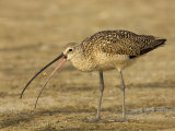 Long-Billed Curlew, Numenius Americanus, with a Crab in its Beak, North America Photographic Print by John Cornell