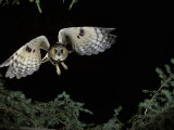 Long-Eared Owl in Flight, Asio Otus, North America Photographic Print by Joe McDonald