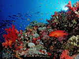 Coral Grouper (Cephalopholis Miniata) around a Coral Reef Red Sea, Sudan, Africa Photographic Print by Reinhard Dirscherl