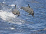 Spinner Dolphins (Stenella Longirostris) Leaping into the Air at the Same Time, Hawaii, USA Photographic Print by David Fleetham