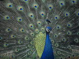 Male Peacock Courtship Display, Pavo Cristatus Photographic Print by Gary Meszaros