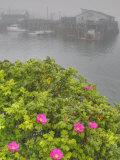 Seaside Roses, Rosa Rugosa, and Wharf Fotografie-Druck von Gustav W. Verderber