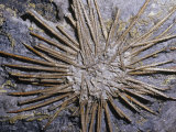 Sea Urchin Fossil (Archeocidaris), 360-325 M.Y.A., Texas, USA Photographic Print by Ken Lucas