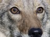 Coyote Face (Canis Latrans), Close-Up of its Eyes Photographic Print by Steve Maslowski