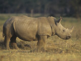 White Rhinoceros on the Savanna, Ceratotherium Simum, Nakuru, Kenya, Africa Photographic Print by Joe McDonald