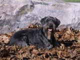 Standard Schnauzer Variety of Domestic Dog Photographic Print by Cheryl Ertelt