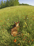 White-Tailed Deer Fawn at Rest in a Meadow, Odocoileus Virginianus, North America Photographic Print by Jack Michanowski