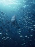 Blue Shark (Prionace Glauca) with a School of Jack Mackerel Fotografie-Druck von Richard Herrmann