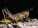 Lubber Grasshopper Photographic Print by Arthur Morris