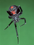 Female Black Widow Spider, Latrodectus Mactans Lámina fotográfica por Bill Beatty