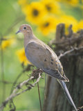 Mourning Dove Sitting on a Barbed Wire Fence (Zenaida Macroura), North America Photographic Print by Steve Maslowski