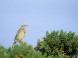 Falkland Pipit, Anthus Antarcticus, Falkland Islands Photographic Print by John & Barbara Gerlach