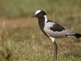 Blacksmith Plover, Vanellus Armatus, Masai Mara, Kenya, Africa Photographic Print by Adam Jones