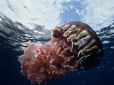 Black Jellyfish (Chrysaora Achylos), Los Coronado Island, Baja California, Mexico Photographic Print by Richard Herrmann