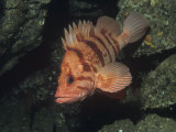 Tiger Rockfish, Sebastes Nigrocinctus, Pacific Coast of North America Photographic Print by Daniel Gotshall