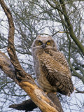 Great Horned Owl Young or Owlet, Bubo Virginianus, Arizona, USA Fotografiskt tryck av John & Barbara Gerlach