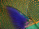 A Bicolor Parrotfish (Cetoscarus Bicolor) Sleeping at Night. Indonesia Photographic Print by David Fleetham