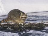 Raccoon Fishing in a Winter Forest Stream (Procyon Lotor), North America Photographic Print by Tom Walker