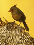 A Female Northern Cardinal (Cardinalis Cardinalis) on a Sunflower Seed Head, Eastern North America Photographie par Steve Maslowski