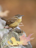 Carolina Wren (Thryothorus Ludovicianus), South Carolina State Bird. USA Photographie par Steve Maslowski