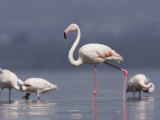 Greater Flamingos, Phoenicopterus Ruber, Africa Photographic Print by Joe McDonald