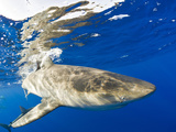 Galapagos Shark (Carcharhinus Galapagensis), Oahu, Pacific Ocean, Hawaii, USA Photographic Print by Reinhard Dirscherl