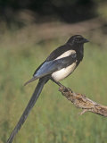 Black-Bellied Magpie, Pica Hudsonia, North America Photographic Print by Charles Melton