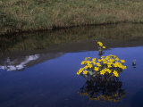 Marsh Marigold Blooming in a Pond (Caltha Palustris), Alaska, USA Photographic Print by Tom Walker